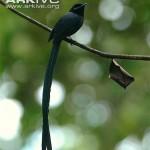 Male-Seychelles-paradise-flycatcher
