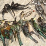 Dead protected birds Dwejra Lines 14 09 2011