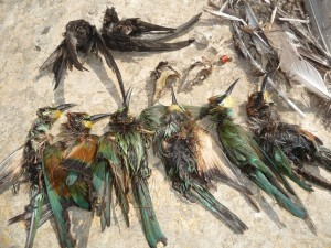 Dead protected birds Dwejra Lines 14 09 2011