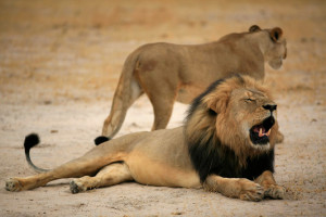 epa04864234 An undated handout photo provided by the Zimbabwe Parks and Wildlife Management Authority on 28 July 2015 shows Cecil, one of Zimbabwe's most famous lions, who was reportedly shot dead by US hunter Walter Palmer, of Minneapolis, Minnesota, USA, according to reports in the UK media. Cecil was allegedly shot with a crossbow on 06 July.   HANDOUT EDITORIAL USE ONLY/NO SALES